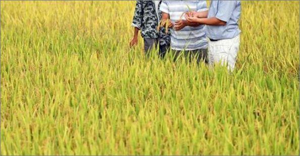 hybrid rice